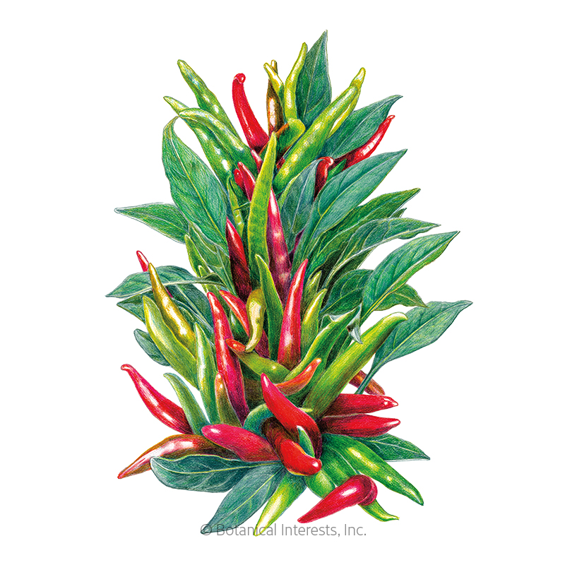 Santaka Chile Pepper Seeds