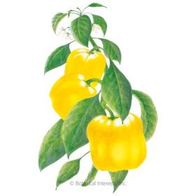 Canary Belle Sweet Pepper Seeds