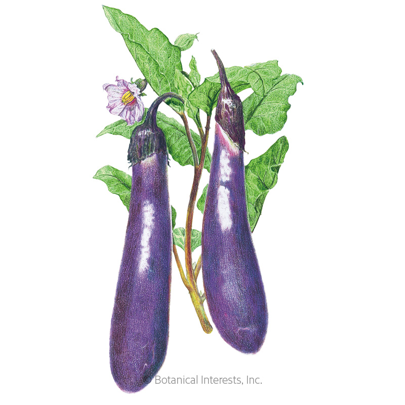 Long Purple Eggplant Seeds