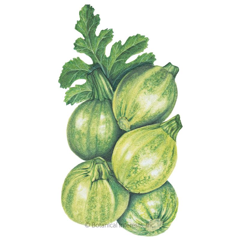 Round Zucchini Summer Squash Seeds