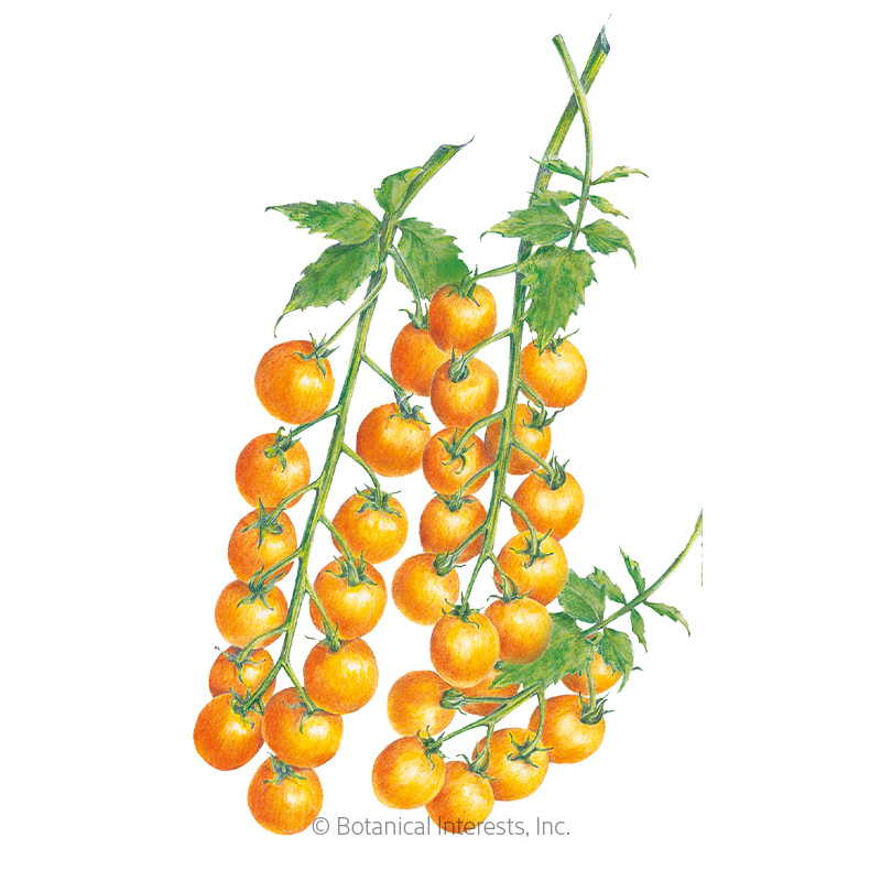 Sun Gold Pole Cherry Tomato Seeds