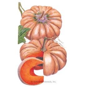 Musquée de Provence Pumpkin Seeds
