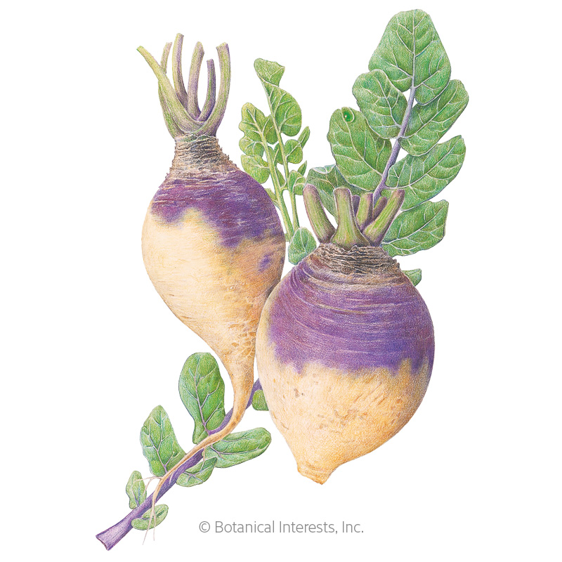 American Purple Top Rutabaga Seeds view 1