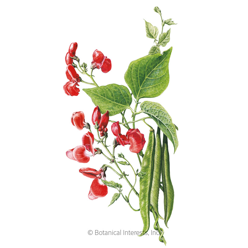 Scarlet Emperor Pole Runner Bean Seeds view 1