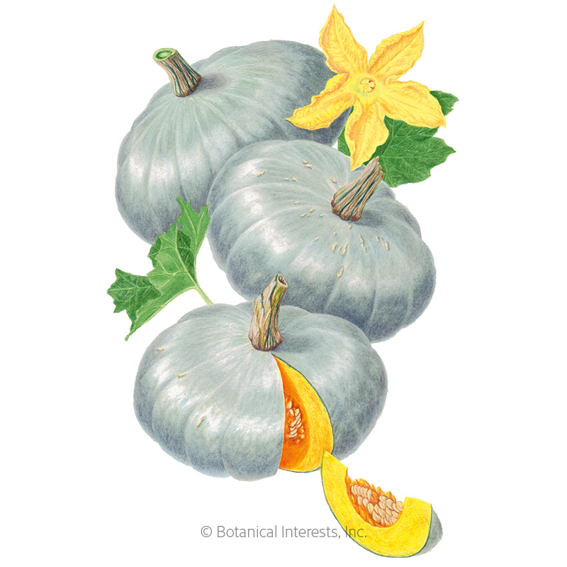 Sweet Meat Winter Squash Seeds