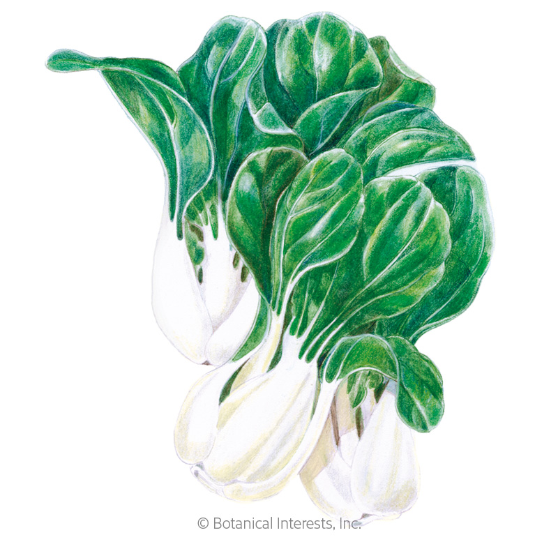 Toy Choy Bok Choy Seeds view 1