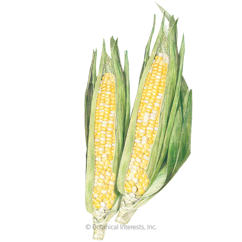 Sugarbaby Sweet Corn Seeds