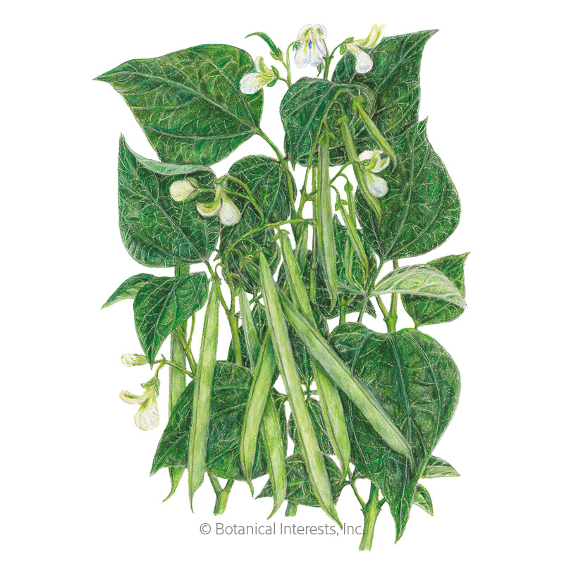 Jade Bush Bean Seeds
