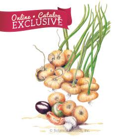 Borettana Bulb Cipollini Onion
