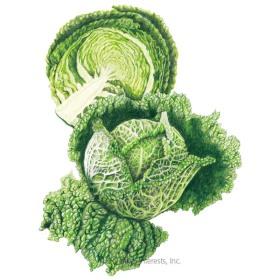 Aubervilliers Savoy Cabbage Seeds