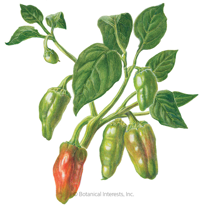 Padrón Chile Pepper Seeds