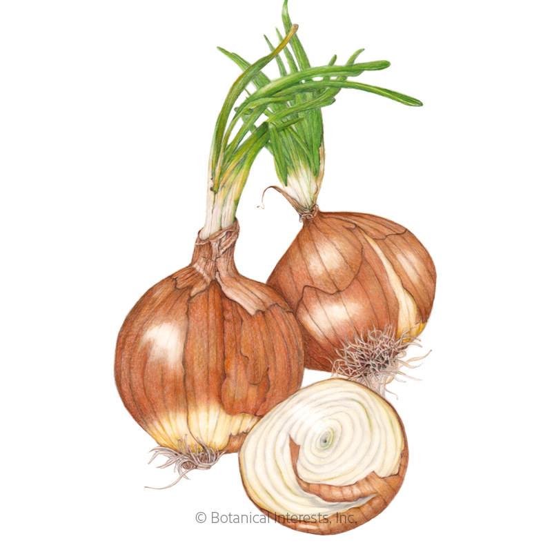Yellow Sweet Spanish Utah Bulb Onion Seeds