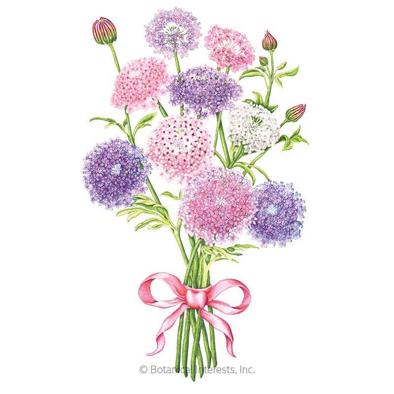Madonna Blend Lace Flower Seeds