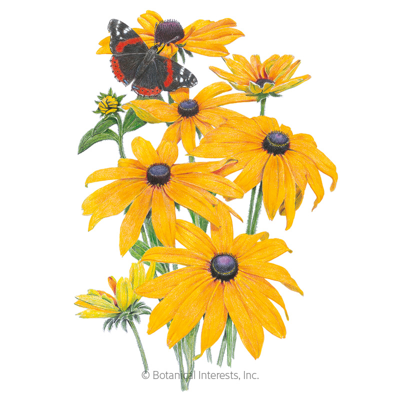 Black-Eyed Susan Seeds       view 1