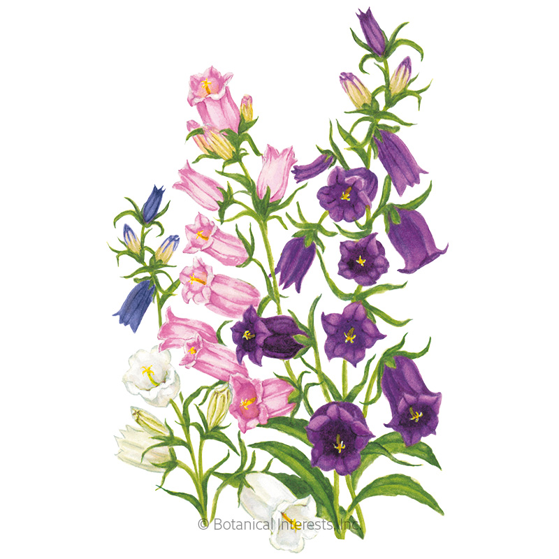 Storybook Blend Canterbury Bells Seeds