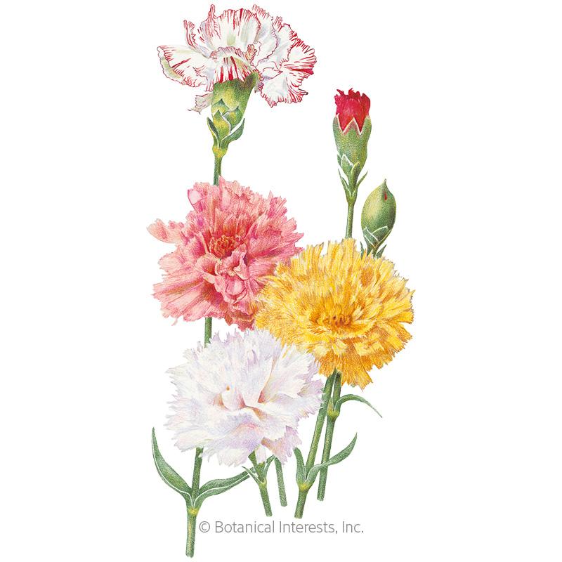 Chabaud Blend Carnation Seeds