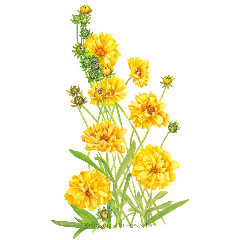 Double Sunburst Coreopsis Seeds