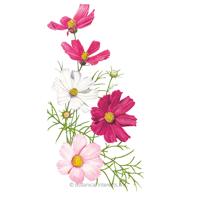 Sensation Blend Cosmos Seeds