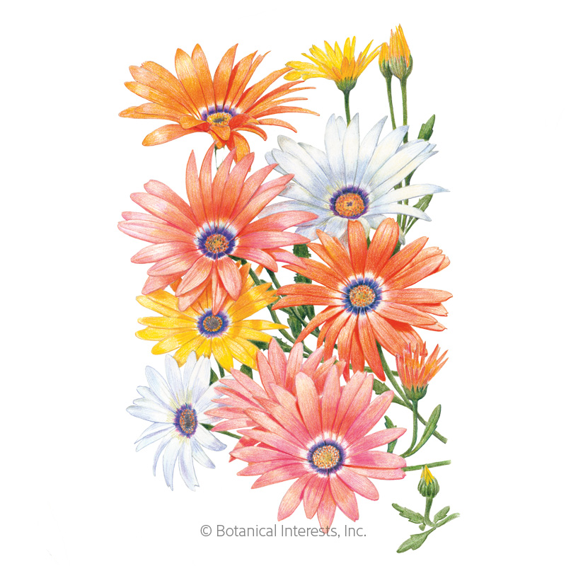 Cape Marigold African Daisy Seeds
