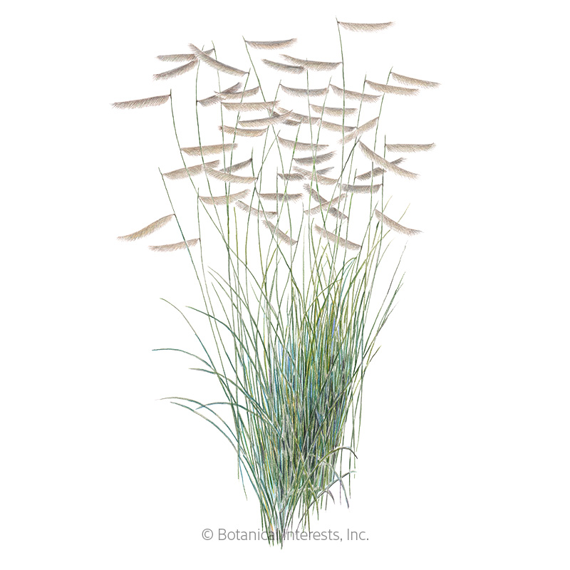 Blue Grama Grass Seeds