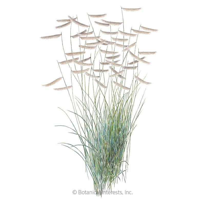 Blue Grama Grass Seeds