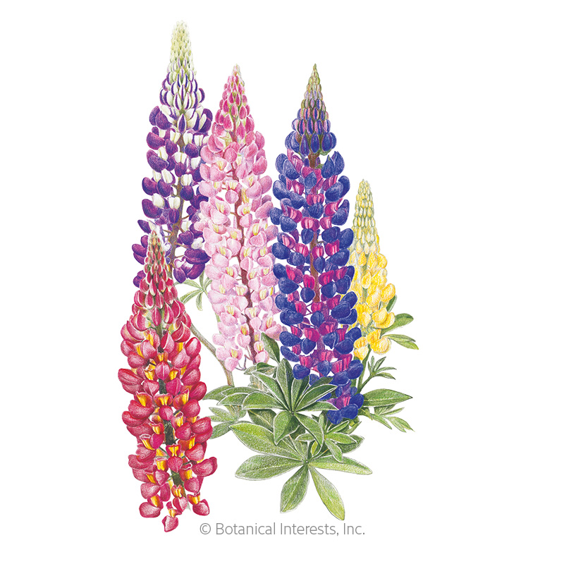 Russell Blend Lupine Seeds
