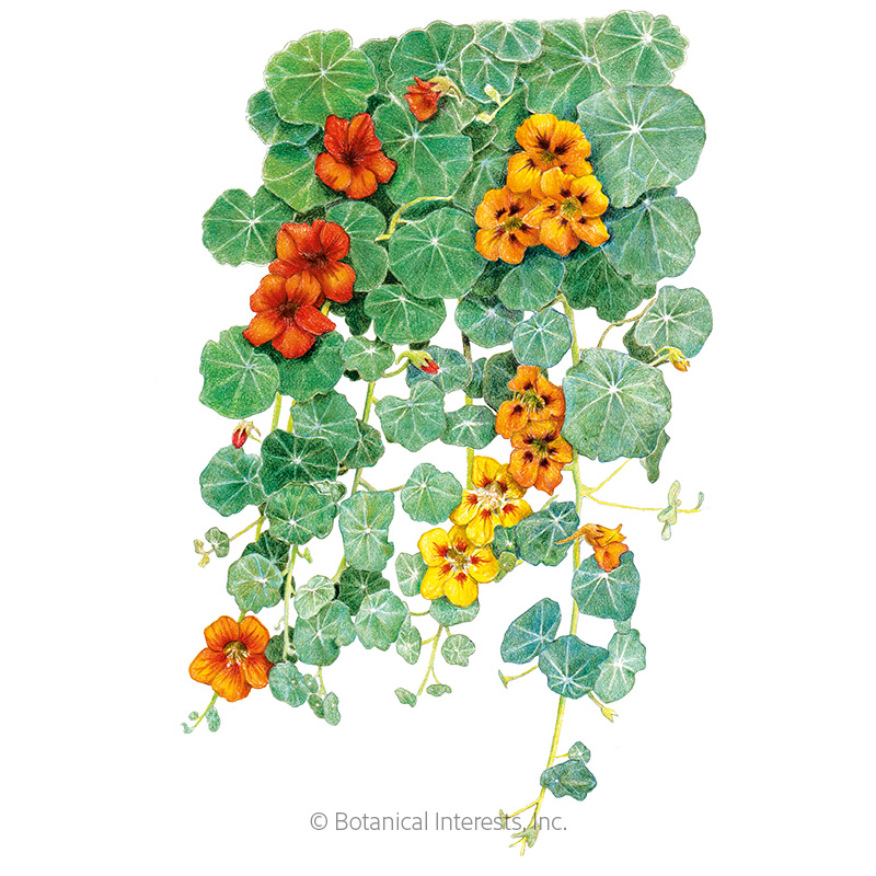 Single Blend Trailing Nasturtium Seeds