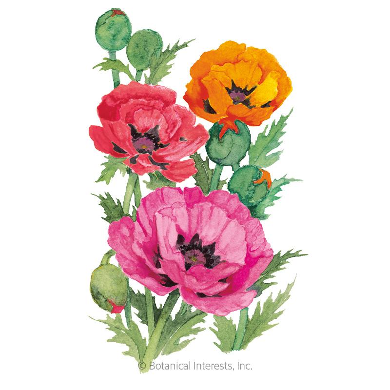 Oriental Blend Oriental Poppy Seeds