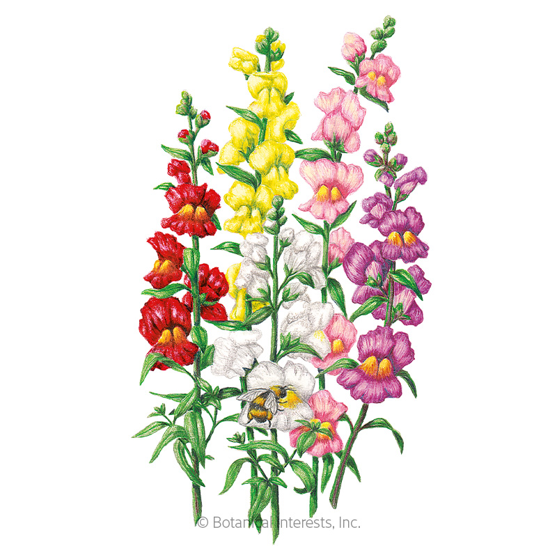 Tall Maximum Blend Snapdragon Seeds
