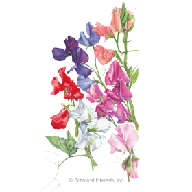 Knee-High Blend Sweet Pea Seeds