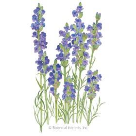 Hidcote Blue Lavender Seeds