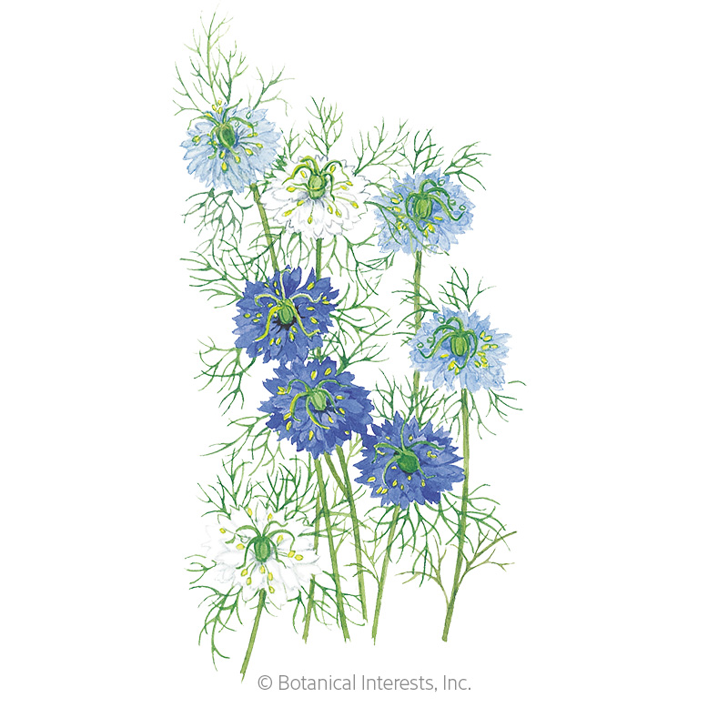 Miss Jekyll Blend Love-In-A-Mist  Seeds