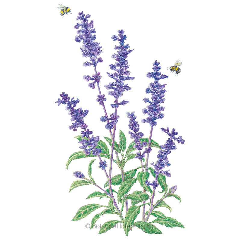 Blue Victory Salvia Seeds