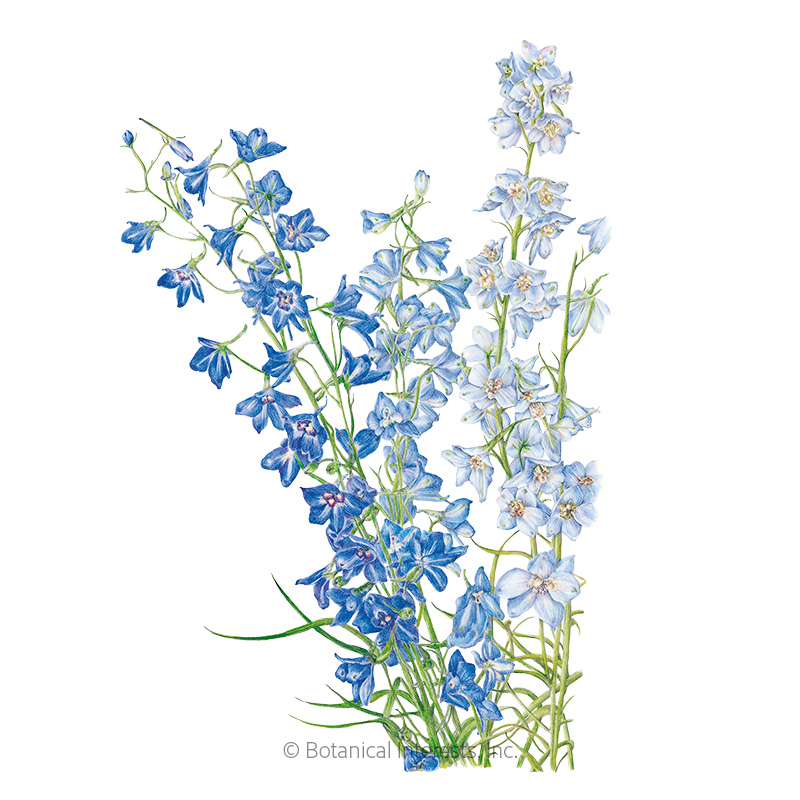 Shades of Blue Larkspur Seeds     view 1