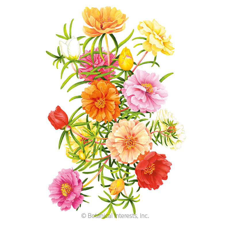 Double Blend Portulaca (Moss Rose) Seeds