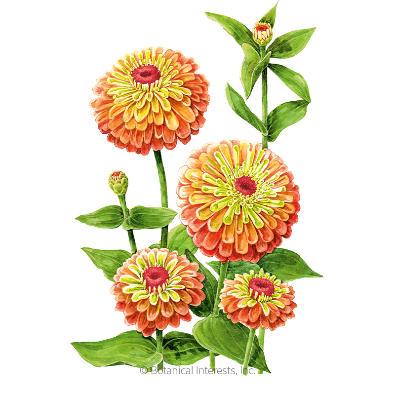 Queeny Lime Orange Zinnia Seeds