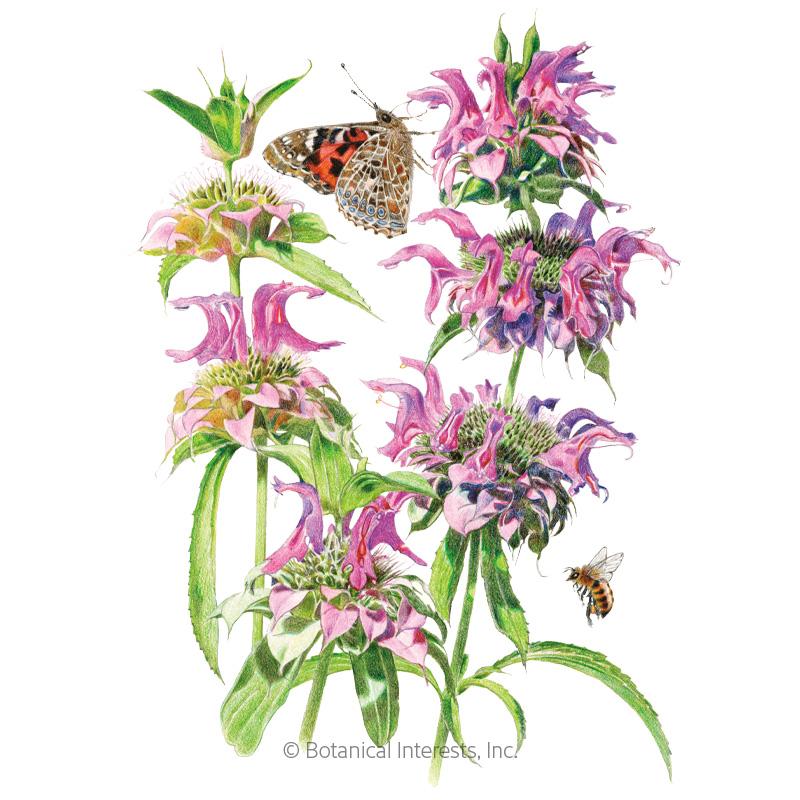 Lambada Bee Balm Seeds