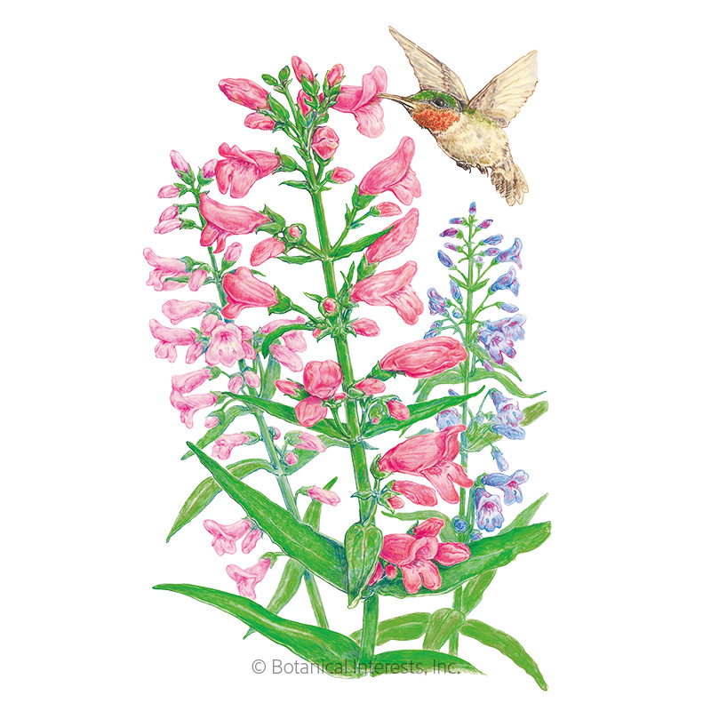 Dazzler Blend Penstemon Seeds