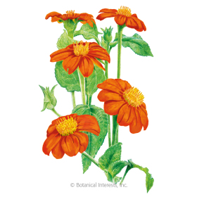 Torch Mexican Sunflower Seeds