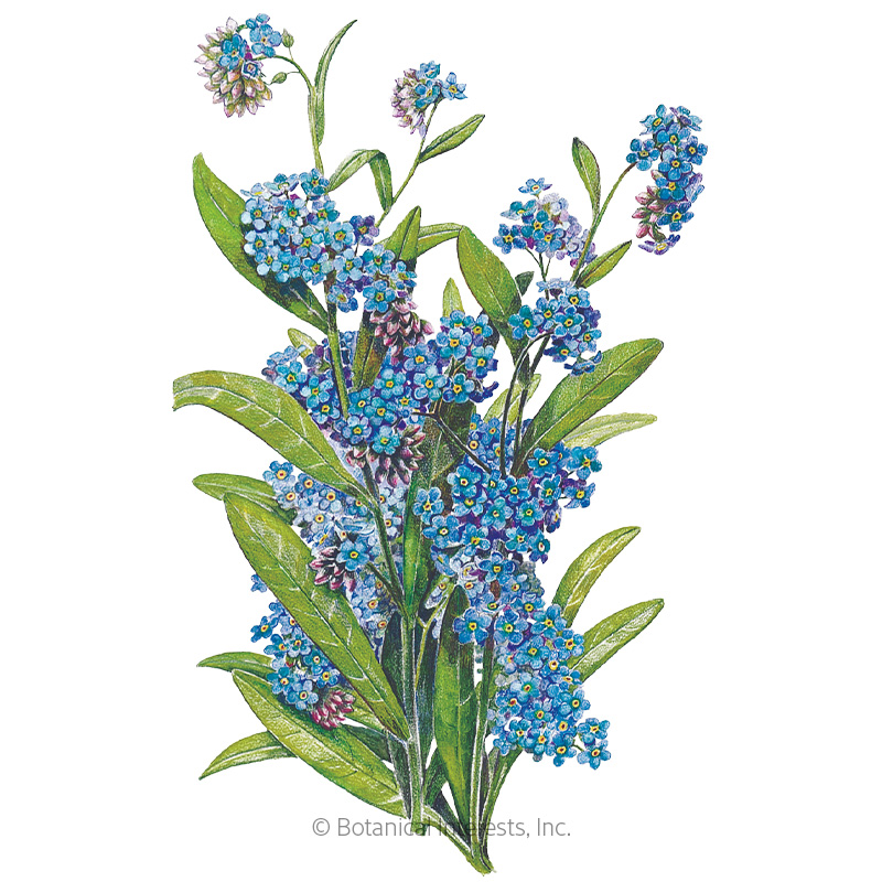 Victoria Blue Forget-Me-Not Seeds