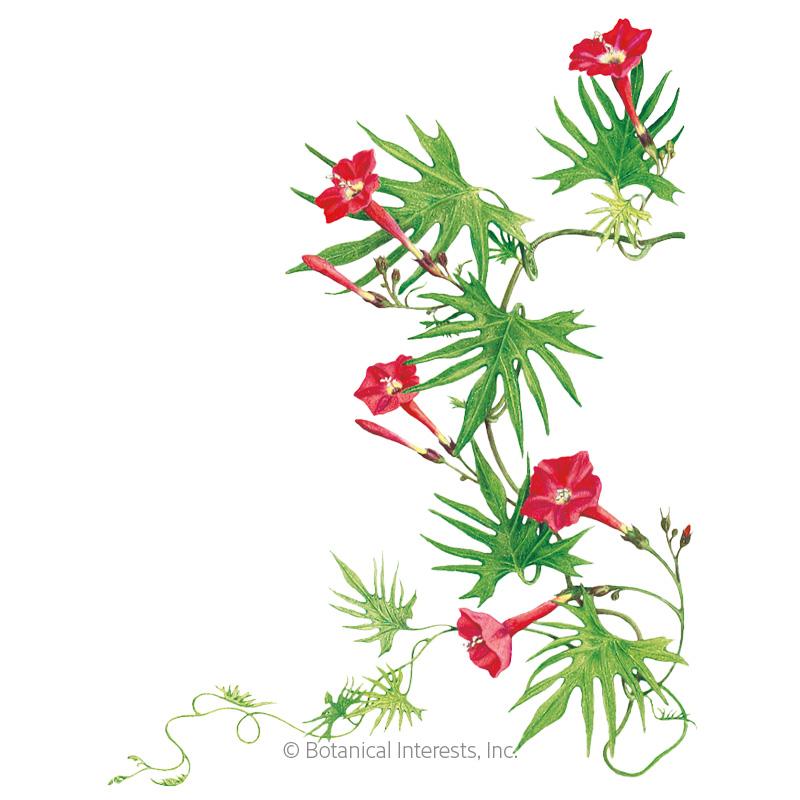 Cardinal Climber Seeds