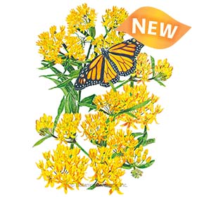 Hello Yellow Milkweed/Butterfly Flower