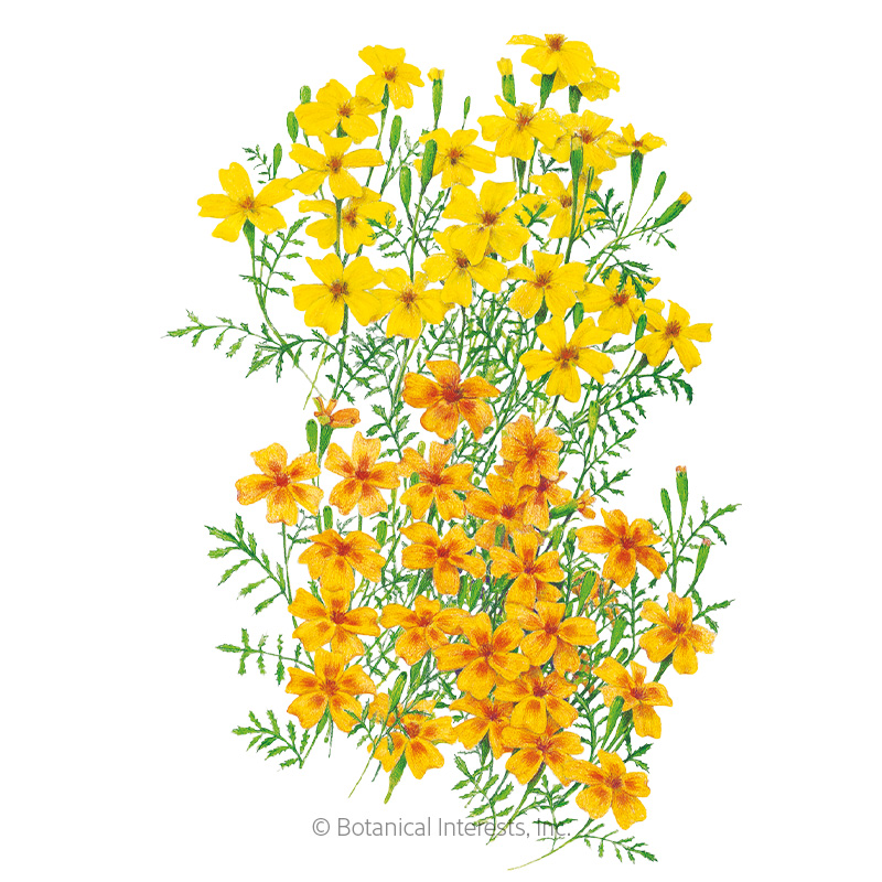 Lemon & Tangerine Gems Signet Marigold Seeds     view 1