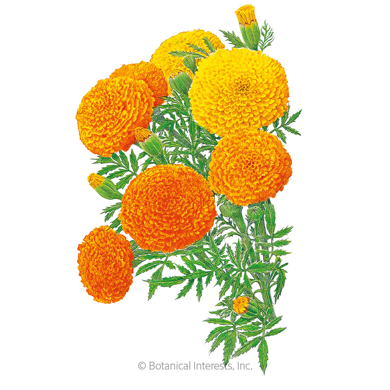 Crackerjack African Marigold Seeds
