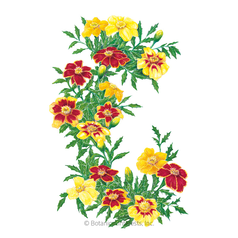 Favourite Blend French Marigold Seeds     view 1