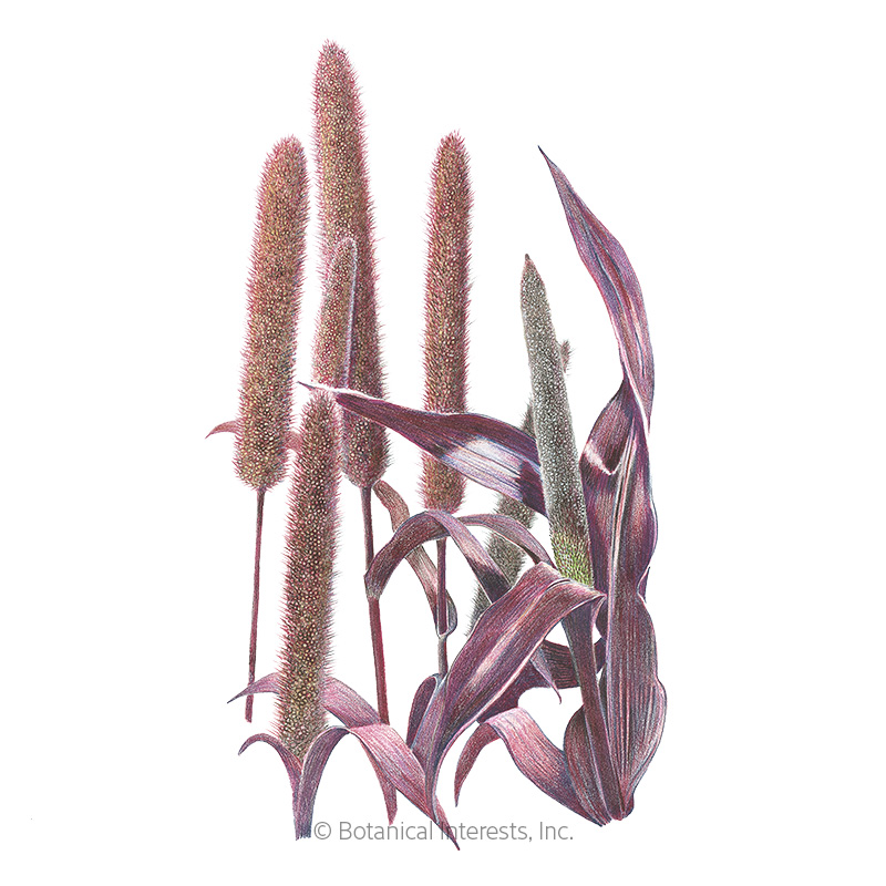 Purple Majesty Ornamental Millet Seeds     - Online Exclusive