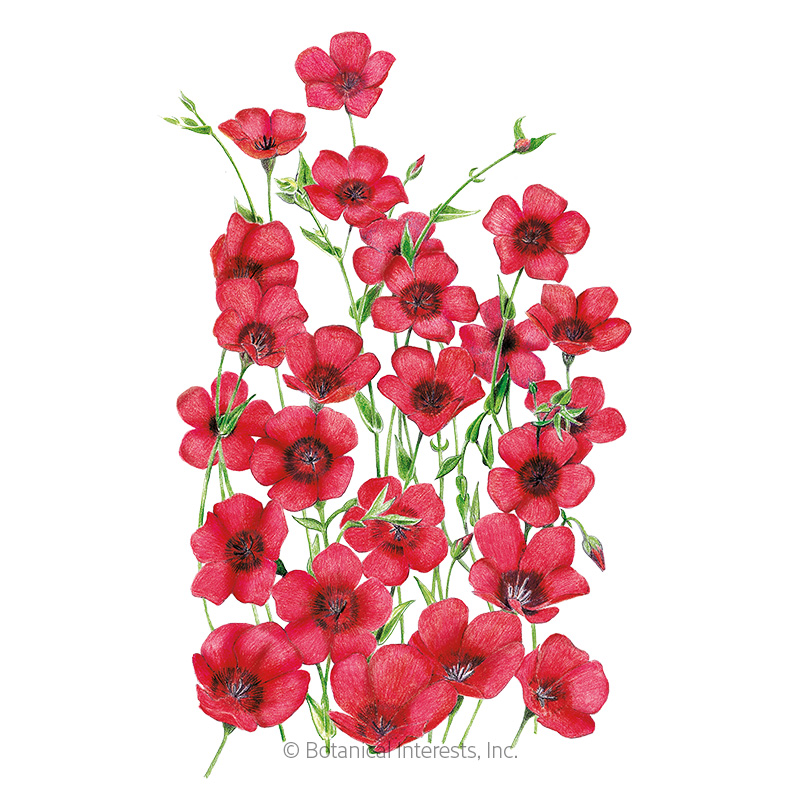 Scarlet Flax Heirloom Seeds