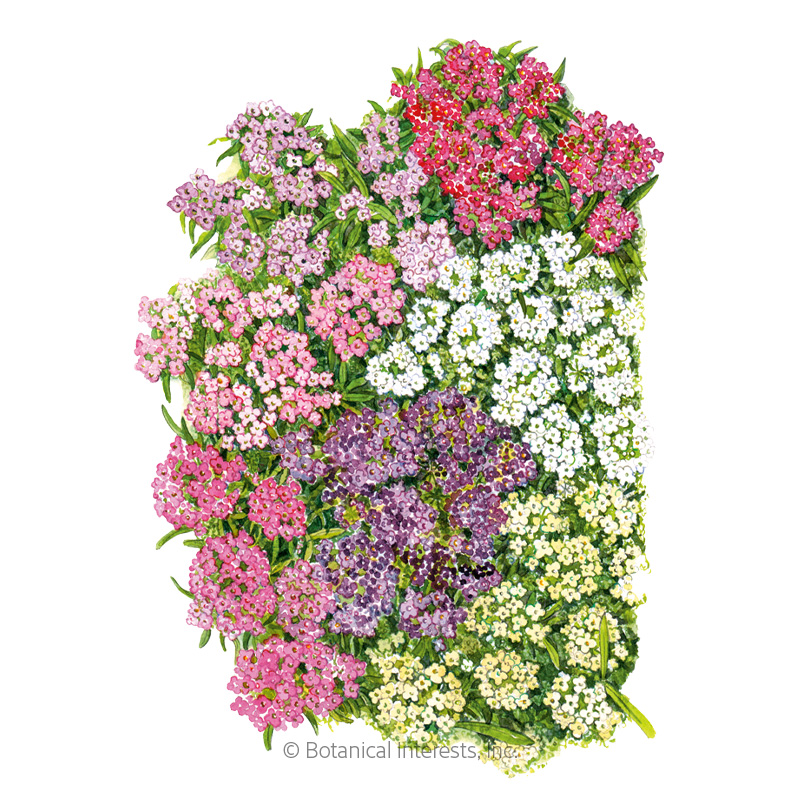 Allure Pastel Blend Sweet Alyssum Seeds    view 1