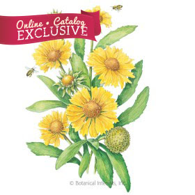 Mesa Yellow Gaillardia Seeds