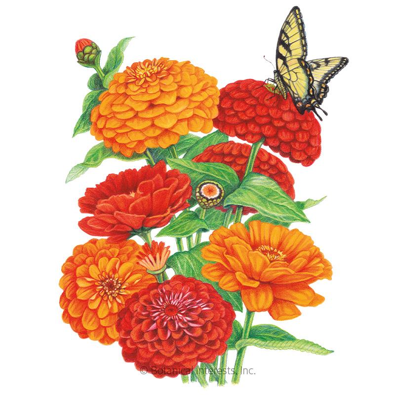 Fireball Blend Zinnia Seeds